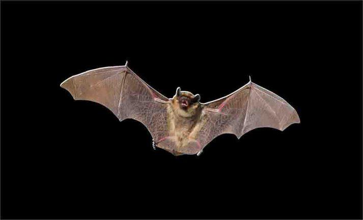 Morcegos coleção imagens transparentes PNG