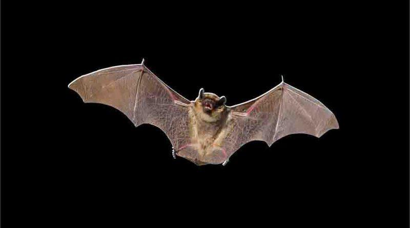 Morcego PNG