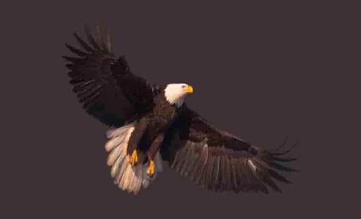 Águias coleção imagens transparentes PNG