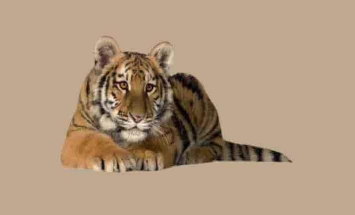 Tigres coleção imagens transparentes PNG