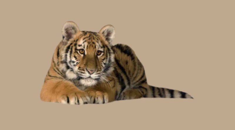 Tigres PNG
