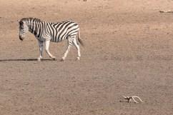 07 Antilopi, Zebre, Giraffe053