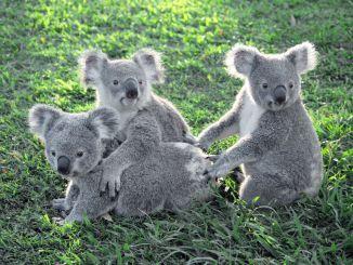 koala lone pine