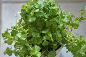 manojo de cilantro