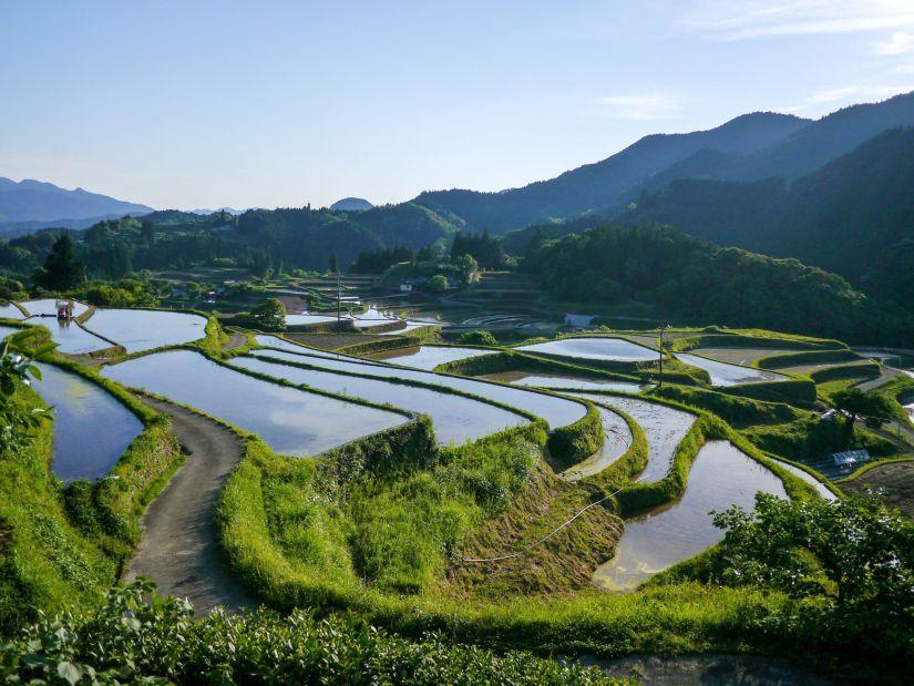 Arrozal de arroz integral en un día soleado
