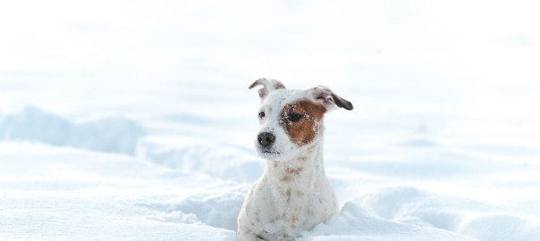 Jack russel terrier playing in the snow © David Hamilton Melby