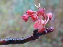 Female red maple flower