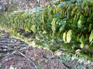 fungialgae