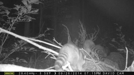 2014-09-14-three-raccoons-on-log