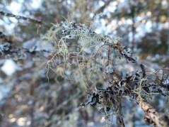 lichen-in-fir-braches
