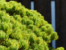 yamaki-pine-in-washington-dc-2