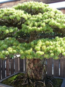 yamaki-pine-in-washington-dc-3