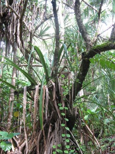 Makatea forest, Mangaia, Cook Islands, 2008