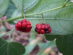 Glochidion puberum fruit, Hengshan, Hunan, China