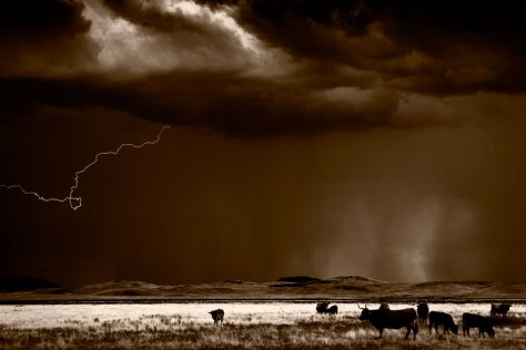 Cattle And Lightning