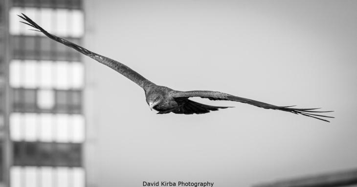 Eagle in Addis Ababa, Ethiopia