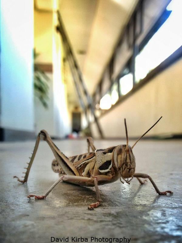 Grasshopper or Locust