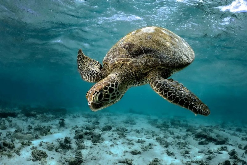 green sea turtle diving down water photograph