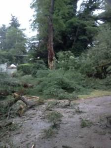 Black Locust, fallen tree, power line