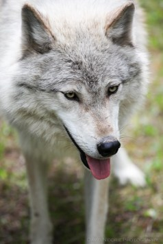 A close up of a Grey Wolf.