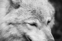 A close up of a Grey Wolf, black and white photo.