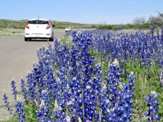 Big Bend bluebonnets in April