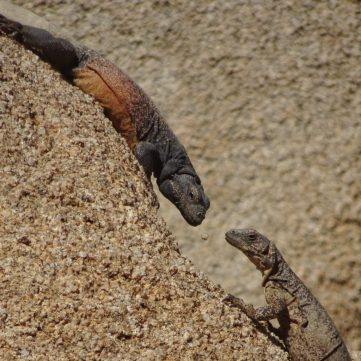 We walked by this Chuckwalla couple on top of a boulder.