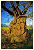 The-Old-Man-of-Calke-1000-+-year-old-Oak
