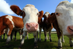 iStock_000004179972_Small - Cows for DUI blog
