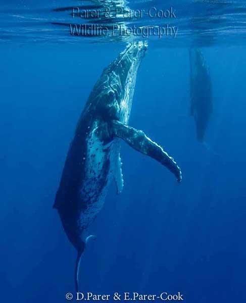 Grey Whale Penis : whale, penis, Whale, Penis, Length