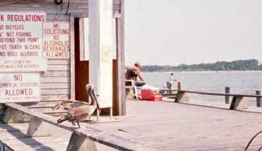 Pelican in Cedar Key - 2