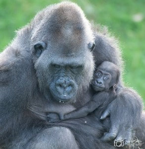 Western Lowland Gorilla and baby, Jersey Zoo, Channel Islands