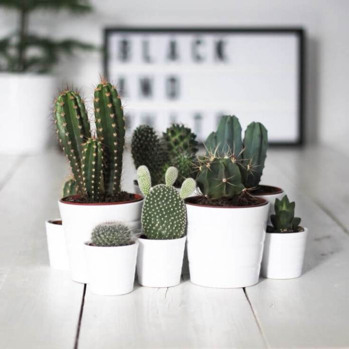 Cactus Ornamental Plants For Coffee Table