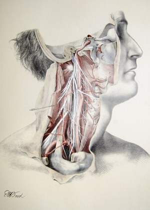 Many Nerves in neck - structural bodywork, medical massage