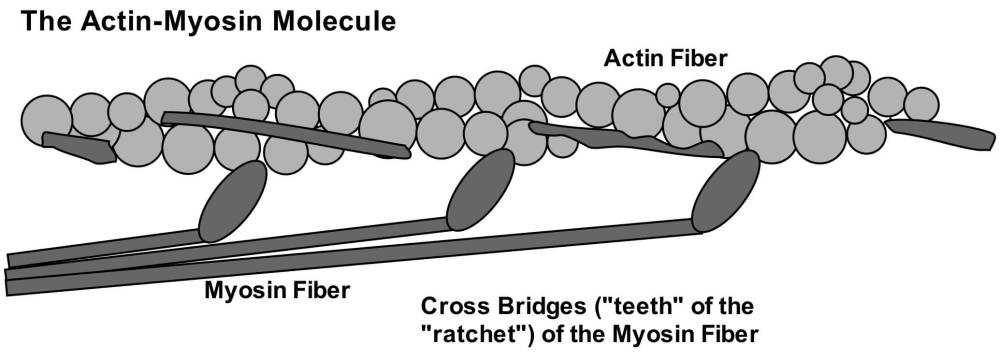 actin-myosin filaments - massage therapy school in the 21st century