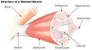 Muscle & Fascia fibers - Muscle Pain Relief and Stress Reduction - myofascial release, fascia definition