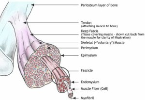 forces generated by muscle cells are delivered to bones by fascial sheaths, which become tendon and periosteum