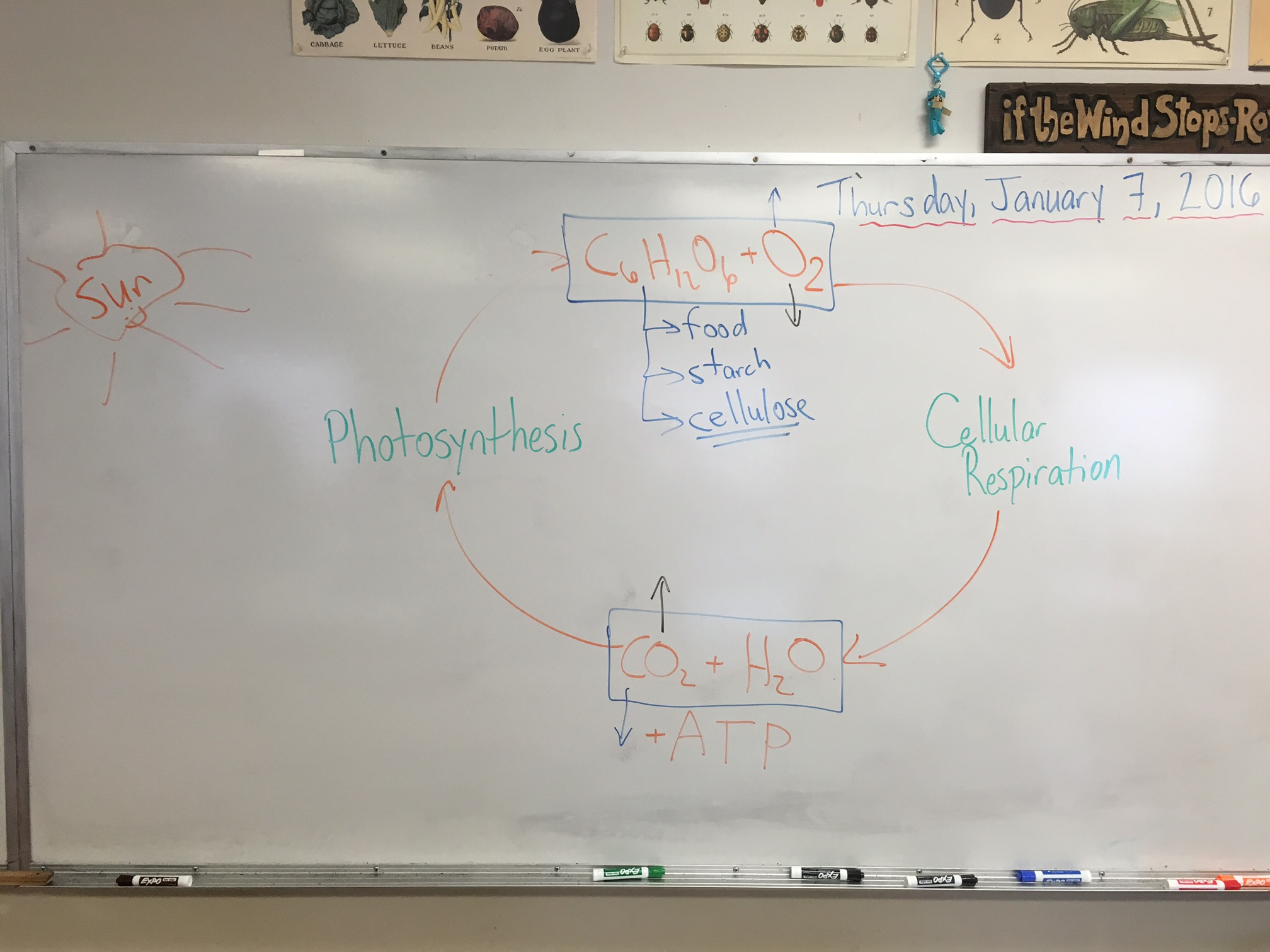 Energy Matter And Organization Photosynthesis Amp Cellular Respiration Pogils