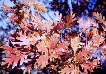 Autumn - Oak Leaves