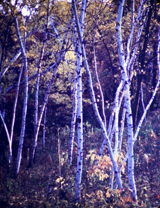 Theo Wirth Park - Birch saplings