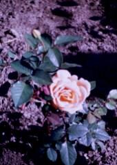 Lake Harriet Rose Garden - Helen Traubel