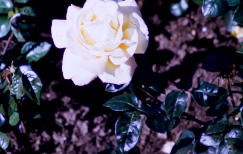 Lake Harriet Rose Garden – Peace