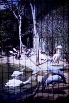 San Francisco - Aquatic Birds - Fleischhacker Zoo