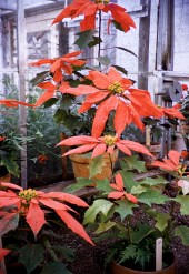 Christmas - Carr's Poinsettias