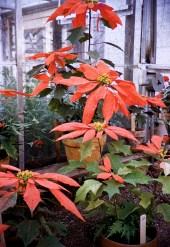 Christmas - Carr's Poinsettias