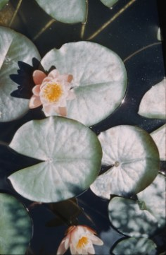 Summer - Water Lilies - Fireman's Park, Hutchinson, MN