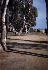 Santa Monica - Palasades Park - Eucalyptus Trees