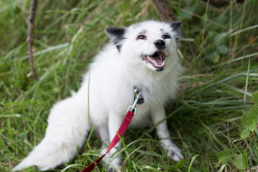 dog domestication: Georgian white Russian domesticated fox