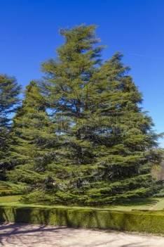 76572458-pine-tree