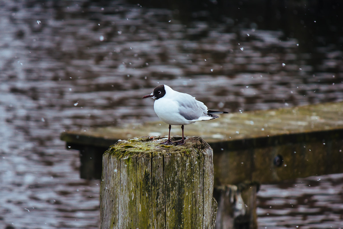 Single black-headed gull standing on a pole by the river during snowfall
